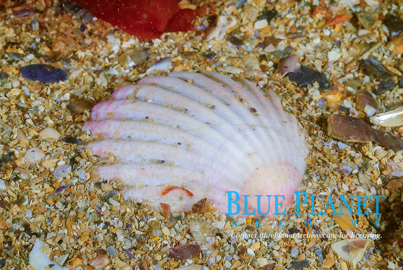 Great scallop also known as St James' shell, Pecten maximus, Bay of Morlaix, off Carantec, North of Brittany, North of France, Atlantic Ocean, Europe
