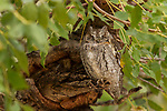 African Scops Owl (Otus senegalensis) sleeping, Kruger National Park, South Africa