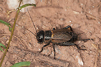 Feldgrille, Weibchen mit Legebohrer, Feld-Grille, Grille, Gryllus campestris, field cricket, Grillen, Gryllidae