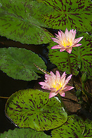 Tropical Water Lily Nymphaea 'Foxfire'  in blue  flowers