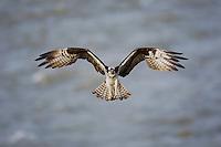 Osprey (Pandion haliaetus), adult in flight, Yellowstone River, Yellowstone National Park, Wyoming, USA