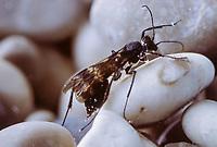 Köcherfliegen-Schlupfwespe, Köcherfliegenschlupfwespe, Wasserschlupfwespe, Wasser-Schlupfwespe, Weibchen unter Wasser, Agriotypus armatus, Agriotypus abnormis, Agriotypidae