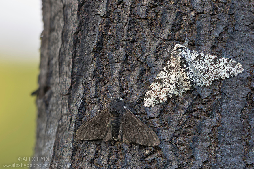 Peppered Moth {Biston betularia} showing a comparison of the melanic form f. carbonaria next to the typical paler form on dark soot-covered bark. The melanic form has long been cited by genetic studies as an example of industural melanism. Sooty deposits on trees and other surfaces meant that the darker form was better camouflaged and more successful in industrial areas of Northern England. In recent decades air quality has imporved to the extent that the melanic form is declining in these areas and is now less frequently encountered than the typical form. Peak District National Park, Derbyshire, UK. July.