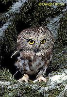 OW02-332z  Saw-whet owl - sitting on snow covered branch - Aegolius acadicus