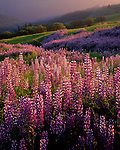 Redwood National Forest, CA:  Evening sun sweeps a hillside meadow in the Bald Hills with Riverbank Lupine (Lupinus rivularis) and Oregon White Oak (Quercus garryana)