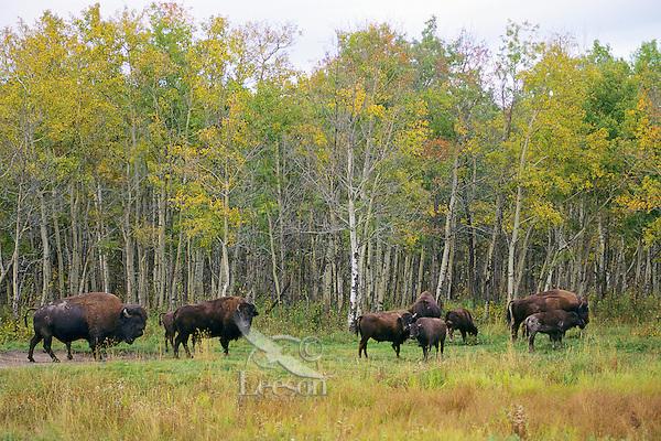 Plains Bison at Elk Island National Park (north side of 16), Alberta.  Fall.