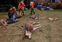 Skilled hunters bagged several elusive Axis deer on opening day of the hunting season on Lanai. Axis deer were a royal gift to the islands in 1868 islands from Hong Kong. Five were brought to Maui in 1959 for hunting and now there are 10,000 deer eating their way through <br /> Hawaii's native plants. They are on several islands and proliferating without having predators. <br /> <br /> Opinions are sharply divided on managing axis deer. On one hand, they have built a fence around endangered plants on Haleakala National Park to protect them from the deer. They are hunting to eradicate all deer within the fenced area. On the other hand, people come to Hawaii to hunt axis deer. It is a source of income for people on the island of Lanai who also enjoy the sport of hunting the small illusive deer that never loses its spots.