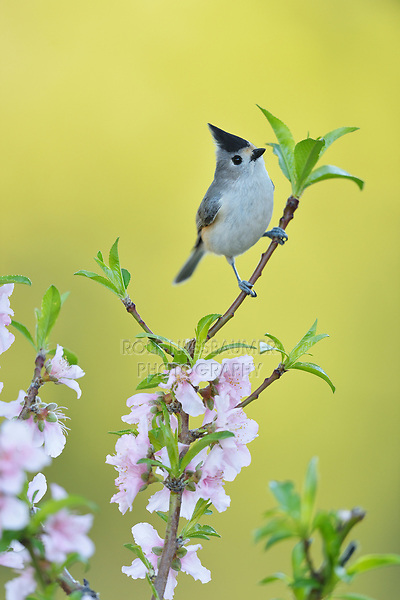 Black-crested Titmouse (Baeolophus atricristatus), adult perched on blooming Peach tree (Prunus persica), Hill Country, Central Texas, USA