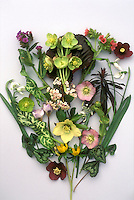 Helleborus Studio shot of hellebore cut flowers with daffodils, Pulmonaria, foliage leaves of Arum italicum, Euphorbia, Cyclamen, Galanthus snowdrop blooms