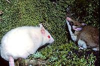 Eikelmuis (Elyomis quercinus), albino en normaal gekleurd