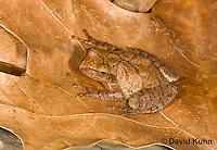 0302-0905  Spring Peeper Frog, Pseudacris crucifer (formerly: Hyla crucifer)  © David Kuhn/Dwight Kuhn Photography