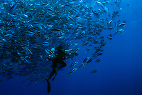 Underwater filmaker in school of fish, 10 miles off shore San Diego, Southern California, USA, Pacific Ocean