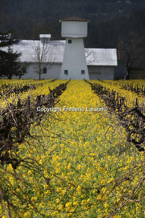 A mustard fields in Napa Valley near Rutherford, California.