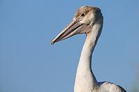 American White Pelican (Pelecanus erythrorhynchos) chick. Lake County, Oregon. July.