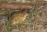 0602-0921  Fowler's Toad, Anaxyrus fowleri [syn: Bufo fowleri (Bufo woodhousii fowleri)]  © David Kuhn/Dwight Kuhn Photography