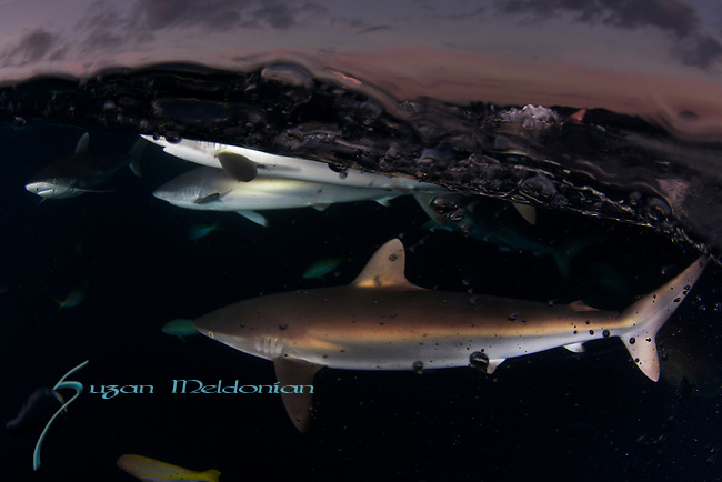 Shark boil at the surface, Carcharhinus falciformis, Cuba Underwater, Gardens of the Queen, Sunlit silky sharks at the surface, Sharknado, feeding frenzy