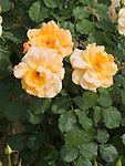Autumn Sunset climbing Rose, Rosa hybrid