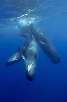 sperm whale, Physeter macrocephalus, Caribbean Sea, Dominica, Atlantic