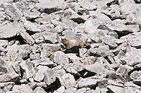 Hoary Marmot (Marmota caligata) running across alpine boulder field.  Cascade Mountains, Pacific Northwest.  Summer.