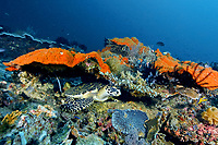 A small hawksbill sea turtle, Eretmochelys imbricata, rests under a ledfe off Black Rock, Raja Ampat, indoensia, Indo-Pacific Ocean