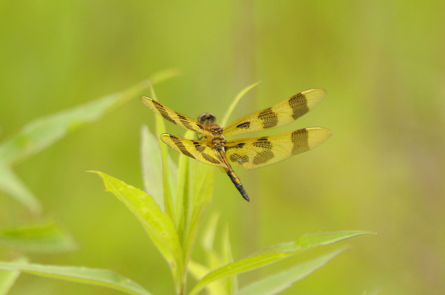 A close up look at a Halloween Pennant Dragonfly while perching.