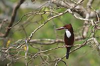 Common Hoopoe (Upupa epops)Yala National Park,Sr Lanka,