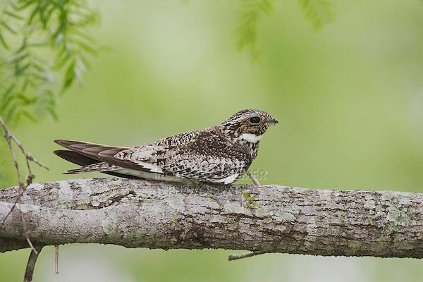 Common Nighthawk (Chordeiles minor), adult at day roost on branch, Sinton, Corpus Christi, Coastal Bend, Texas, USA