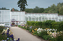Greenhouses with tall bearded irises and peonies in the walled garden at Audley End, late May.