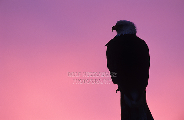 Bald Eagle, Haliaeetus leucocephalus,adult at dawn, Homer, Alaska, USA