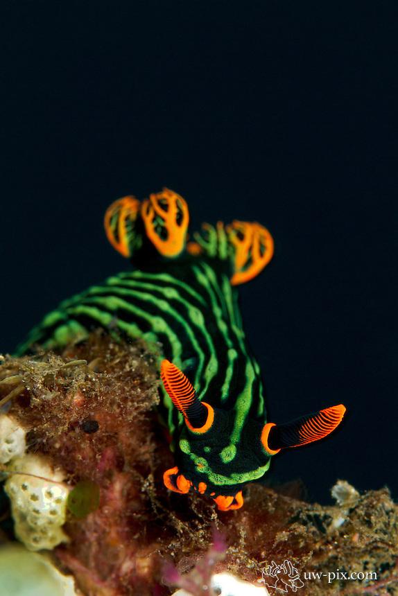nembrotha kubaryana nudibranch feeding on hydroids in Tulamben, Bali, Indonesia february 2011