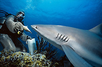 Shark handler feeding Caribbean Reef Shark (Carcharhinus perezii), Bahamas - Caribbean Sea.
