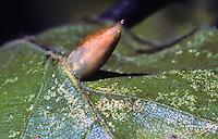 Beukengalmug (Mikiola fagi)