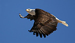 A bald eagle flies over a ranch in Minden, Nev. on Monday, Jan. 21, 2013. .Photo by Cathleen Allison