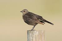 Adult female Brewer's Blackbird (Euphagus cyanocephalus) on fence. Southeast Alberta, Canada. May.