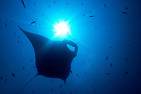 oceanic manta ray, Mobula birostris, formerly Manta birostris, passing over the sun in the blue, Hin Muang, purple rock, Andaman sea, Indian Ocean, Thailand, Asia