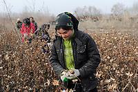 CHINA, autonomous province Xinjiang, Kashgar , uyghur women harvest cotton during winter / CHINA, autonome Provinz Xinjiang, Dorf bei Kashgar , uigurische Frauen pfluecken Baumwolle im Winter bei Minus 10 Grad