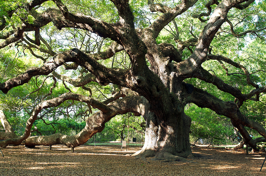 "Picture of the ""Angel Oak Tree"" just south of Charleston, South Carolina.  Estimated age 300-1500 years old."