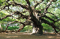 """Picture of the """"Angel Oak Tree"""" just south of Charleston, South Carolina.  Estimated age 300-1500 years old."""