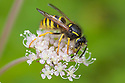 Tree Wasp {Dolichovespula sylvestris} feeding on umbellifer flowers. Peak District National Park, Derbyshire, UK. August.