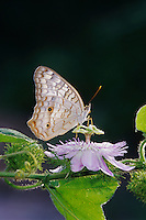 White Peacock, Anartia jatrophae, adult on Passionflower (Passiflora incarnata) , The Inn at Chachalaca Bend, Cameron County, Rio Grande Valley, Texas, USA, May 2004