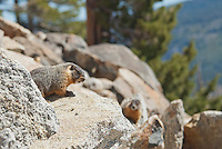 Yellow-bellied marmots, Marmota flaviventris. Near Silver Lake, Sierra Nevada, California