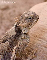 0610-1002  Desert Horned Lizard or Horny Toad (Mojave Desert), Phrynosoma platyrhinos  © David Kuhn/Dwight Kuhn Photography