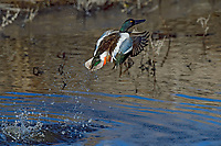 Northern Shoveler (Anas clypeata) drake jumping/taking flight off wetland pond.  Oregon-California border.  Late winter/early spring.