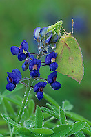 Orange Sulphur, Colias eurytheme, adult in dew on Texas Bluebonnet (Lupinus texensis) , Lake Corpus Christi, Texas, USA, April 2003