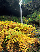 Fall colored ferns and North Falls. Silver Falls State Park. Oregon.