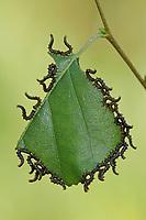 Breitfüssige Birkenblattwespe, Breitfüßige Birkenblattwespe, Birken-Blattwespe, Larve, Blattwespenlarve, Larven, Blattwespenlarven, Craesus septentrionalis, Croesus septentrionalis, flat-legged tenthred, birch sawfly, larva, larvae, la tenthrède du bouleau