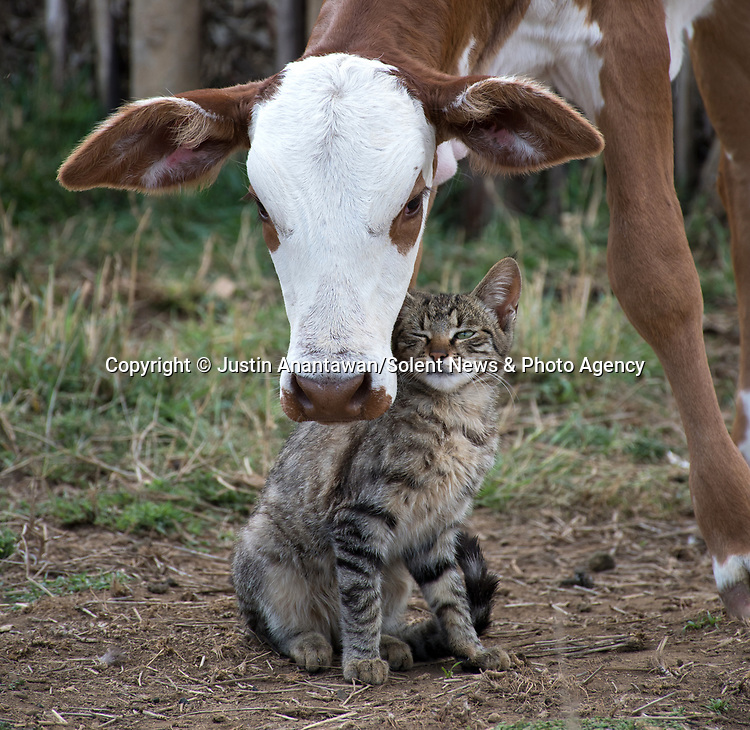Very moo-ving<br /> <br /> A cow and a cat make strike up an unlikely friendship as they cosy up to each other.  The calf licked the cat's fur as the animal sat still and the new friends were also seen walking around together.<br /> <br /> The affectionate pair were snapped by photographer Justin Anantawan in Maasai Land, rural Kenya.  SEE OUR COPY FOR DETAILS.<br /> <br /> Please byline: Justin Anantawan/Solent News<br /> <br /> © Justin Anantawan/Solent News & Photo Agency<br /> UK +44 (0) 2380 458800