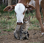Very moo-ving: Calf and cat are best buddies by Justin Anantawan