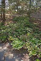 Hellebores in shade garden under trees