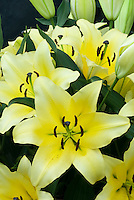 Lilium Manissa yellow two toned lily